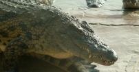 Starcie krokodyli