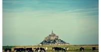 Krowy i Mont San Michel
