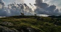 Owce w Norwegii